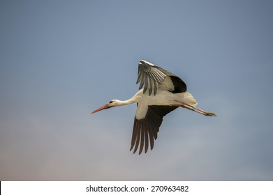 Stork flying in the sky