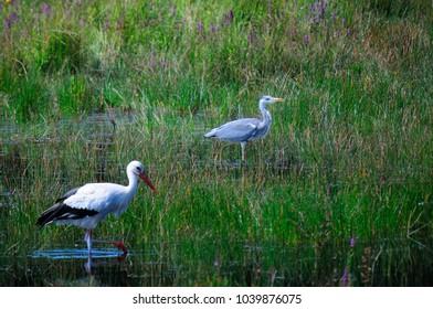 stork and graet blue heron