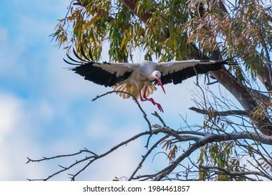Cigüeña justo antes de colarse en una rama de un eucalipto