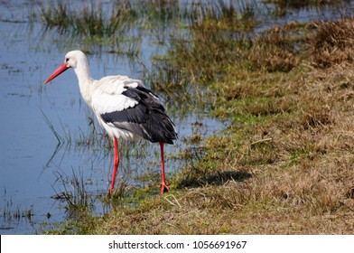 stork is looking for food
