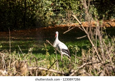 A stork is looking for something edible