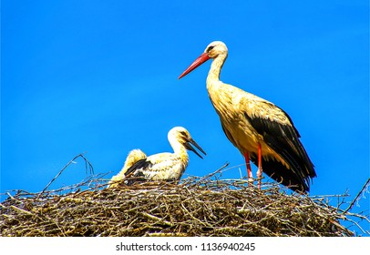 Stork nest on blue sky background. Stork with baby in stork nest