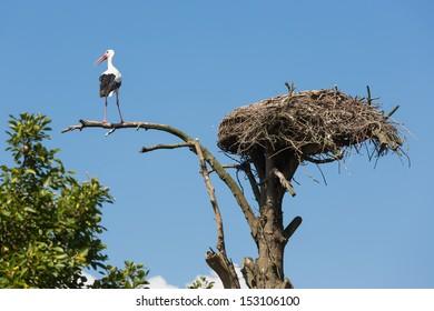 Stork at an old tree near his bird nest