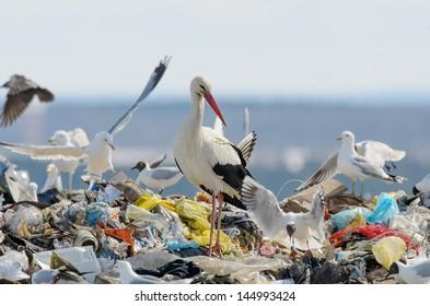 Stork on the dump