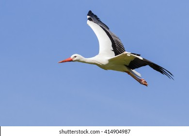 Stork in the sky. A beautiful white stork is set off nicely against a clear blue sky.