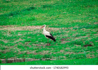 stork is standing on the green grass