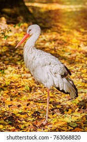 Stork Standing on One Leg among Yellow Leaves