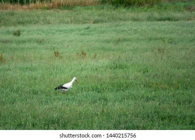a stork trudges through high green grass