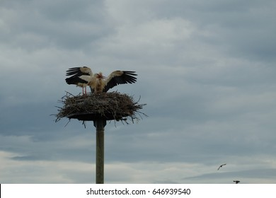 The storks of Alsas on the nest. evening. France