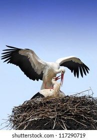 Storks are mating
