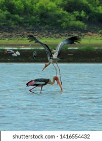 Storks are migratory birds have long legs and slender bodies. Stork birds at Nehru giological zoo park in Telangana, India. CIRCA May 2019.