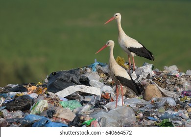 Storks on pile of garbage at city dump.