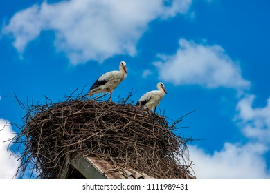 Storks sit in the nest on the roof in the summer, Tver Region, Russia