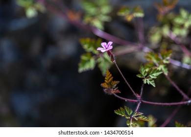 Storksbill flower (Geranium robertianum), herb robert