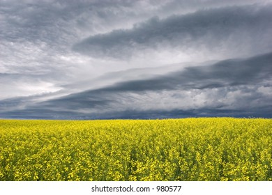 Storm clouds over canola fields