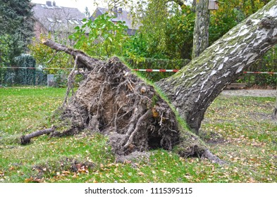 Storm damage with fallen birch and ripped out root ball after hurricane Herwart in Berlin, Germany