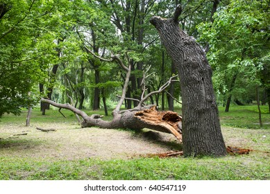 Storm damage. Fallen tree in the park after a storm