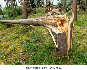 Storm damage. Fallen trees in the forest after a storm.