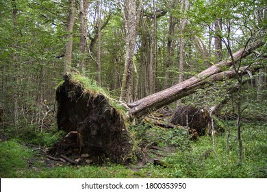 Storm damage in the Nothofagus pumilio forest. Uprooted tree fallen down in the woodland due to wind storms.