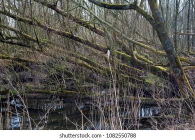 Storm damage in willow forest,  Biesbosch National Park, Netherlands