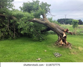 Storm damaged downed Ash tree with broken trunk at the stump