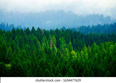 Stormy forest in mountains pine trees in clouds and foggy weather
