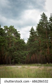 A stormy sky in a pine forest