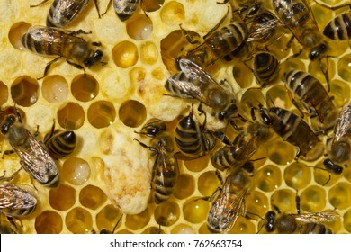 Story of summer life of bees. Larvae of bees and queens of bees develop in cocoons.