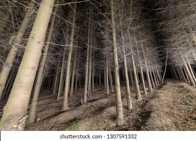 Straight alley in the fir forest at night.