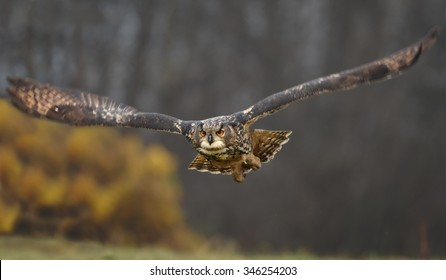Straight flying eagle owl with outstretched wings, low to the ground and distant autumn colored background