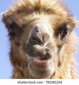 A straight on close-up of a camel's face.