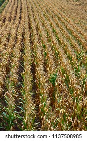 Straight rows of growing corn. Grain production in the Northern regions