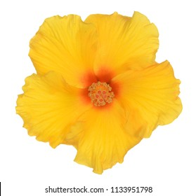straight view of yellow hibiscus flower on white