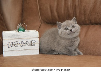 A straight-eyed little kitten of gray color. British Shorthair kitten
