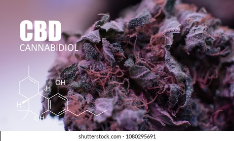 Strains of buds marijuana in the world. Purple Haze strain CBD THC