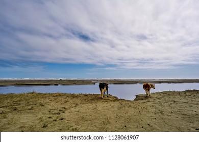 Kühe am strand.