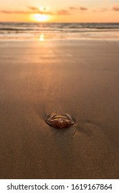 A stranded fire jellyfish on the beach at sunrise. Jellyfish plague in resorts on the coast of Fuerteventura at Canary Islands of Spain.