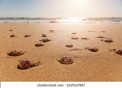 Stranded fire jellyfishes on the beach at sunrise. Jellyfish plague in resorts on the coast of Fuerteventura at Canary Islands of Spain.