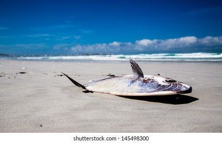 Stranded Mola Mola Sunfish A stranded Mola Mola Sunfish lying on the beach. In contrast it is a bright shiny day with blue skies.
