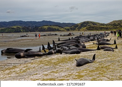 Stranded pilot whales beached on Farewell Spit at the northern tip of New Zealand's South Island