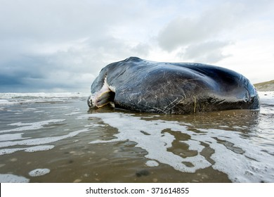 A stranded sperm whale lies dead in the water with an open mouth on the beach on the island of Texel in the Netherlands