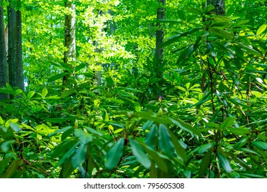 Strandzha Zelenica or Rhododendron ponticum, an evergreen shrub with fresh purple blosom, grows in the shadows of the trees, in the shadows of centuries-old mountain beech trees.