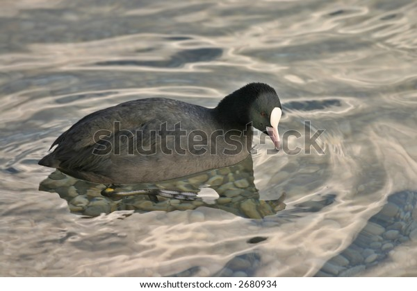 Strange duck swimming in water