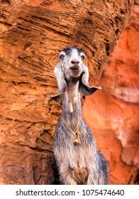 Strange Mountain Goat Petra Jordan