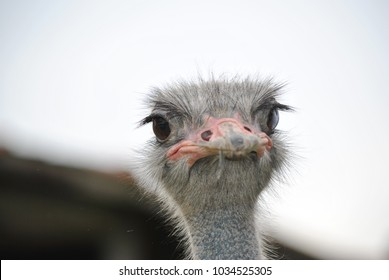 the strange prospects of the ostrich