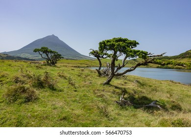 A strange tree near Lagoa do Capitao Lake and Mount Pico, Azores