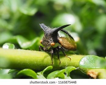 Strange treehopper, Macro Strange treehopper, Strange treehopper on branch, Aphis
