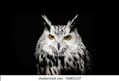 Stranger watching real white owl face to catching in dark background. Owl is animal symbol of knowledge and lucky in nature. Hypnotise owl eyes to watching.