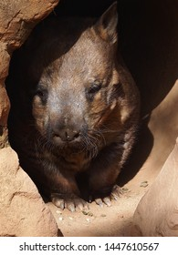 Strapping Burly Southern Hairy-Nosed Wombat Peeking Out Of His Cool Dark Burrow.