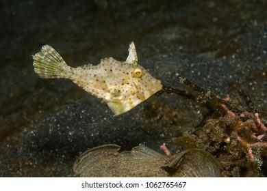 Strapweed Filefish - juvenile (Pseudomonacanthus macurus)